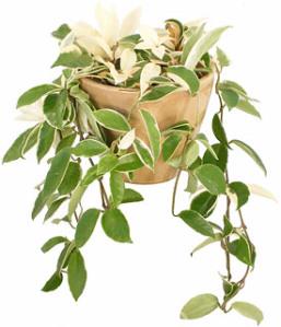 6wax-plant-hoya-cornosa